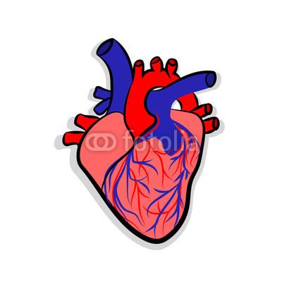 400x400 human heart anatomy human heart anatomically correct hand drawn