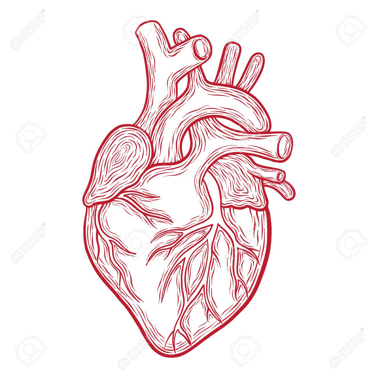 Human Heart Anatomy Drawing | Free download on ClipArtMag
