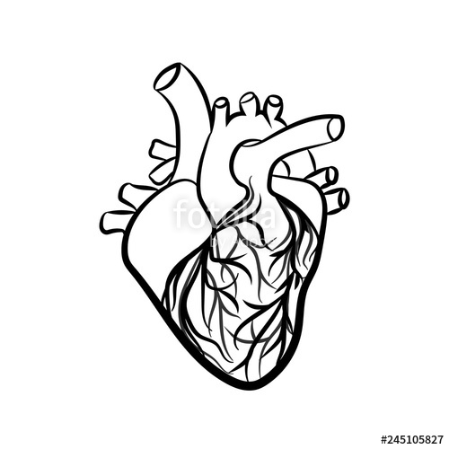 500x500 Human Heart Anatomically Vector Simple Heart Sign Stock Image