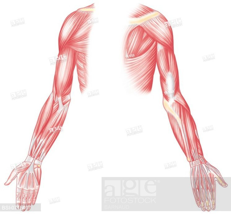 746x699 muscle, drawing muscles of the upper limb in anterior