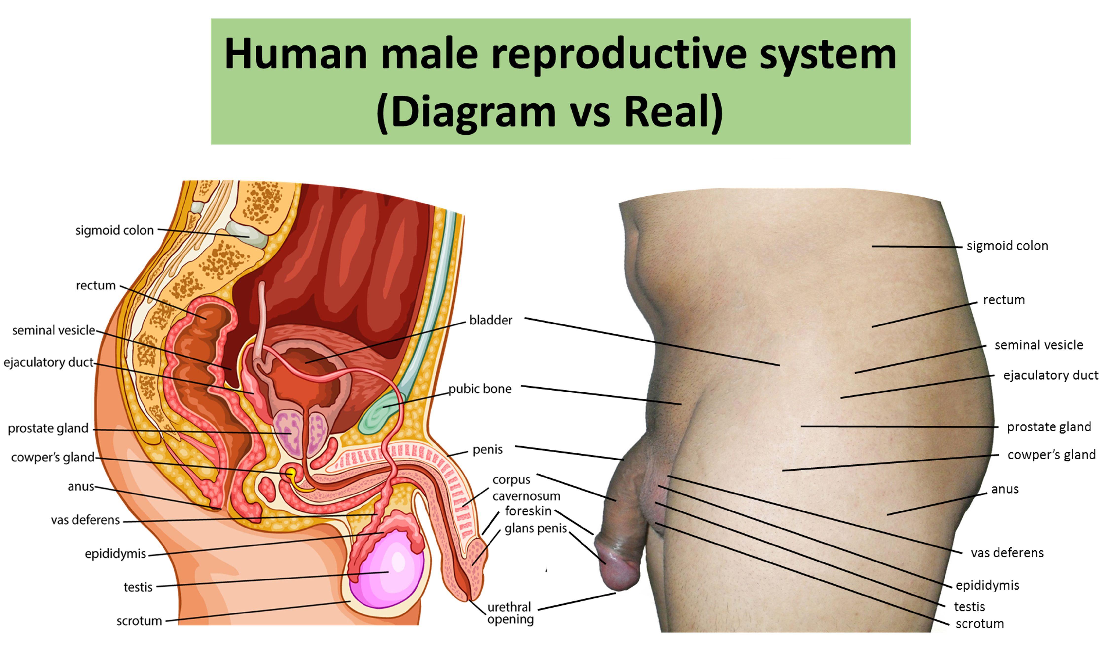 4493x2626 human female anatomy diagram human female anatomy diagram