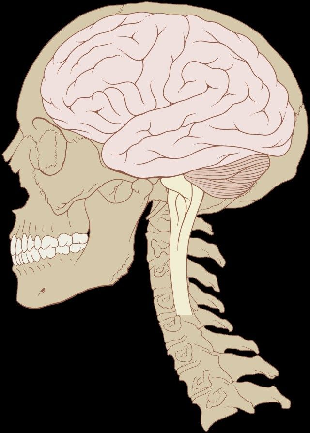 640x894 layout of human organs layout of human organs human brain
