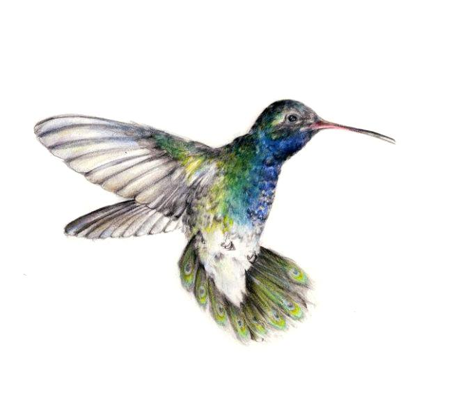 678x600 hummingbird drawing realistic hummingbird drawing hummingbirds