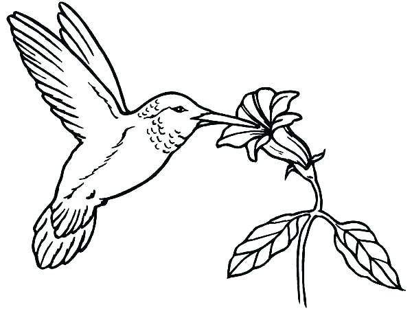 600x450 Humming Bird Drawing Hummingbird Drawing