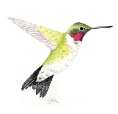 400x388 ruby throated hummingbird my colored pencil drawings bird