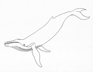 Humpback Whale Drawing
