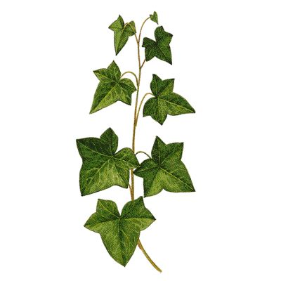 400x400 hedera spp ivy in poison ivy plants, ivy tattoo, ivy plants