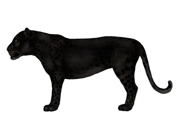 600x410 How To Draw Animals Big Cats, Their Anatomy And Patterns