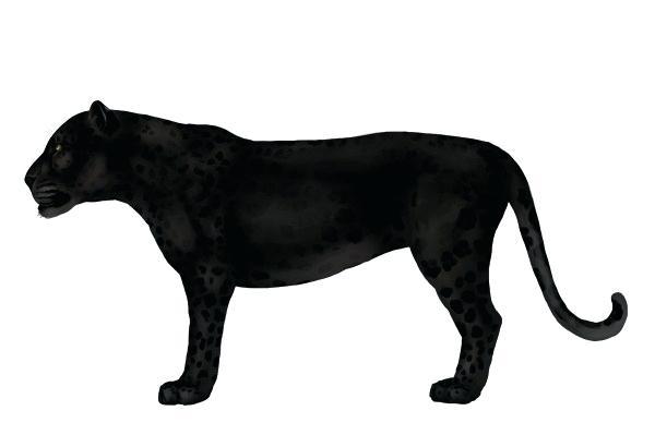 600x410 How To Draw A Cartoon Jaguar Draw Jaguar Big Cat Draw Cartoon