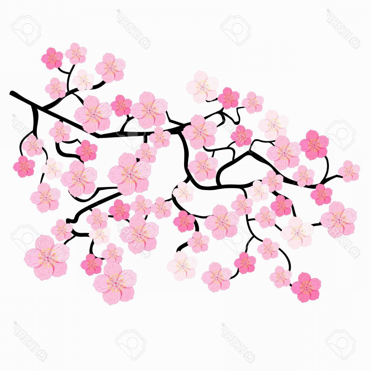 1560x1560 Photostock Vector Branches Of Japanese Cherry Blossoms Vector