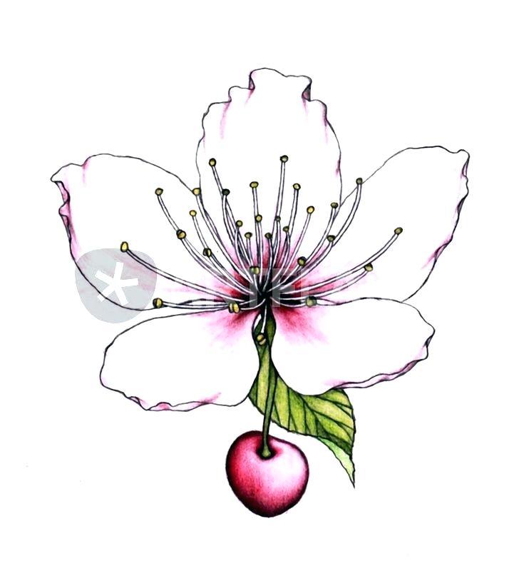 742x800 Draw Cherry Blossom