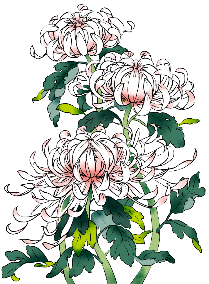 884x1200 Collection Of Free Chrysanthemum Drawing Flower Japanese Download
