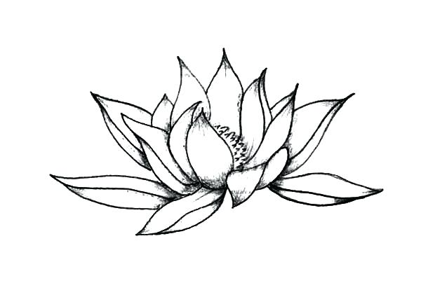 600x404 Lotus Flower Sketch Lotus Flower Sketch Images