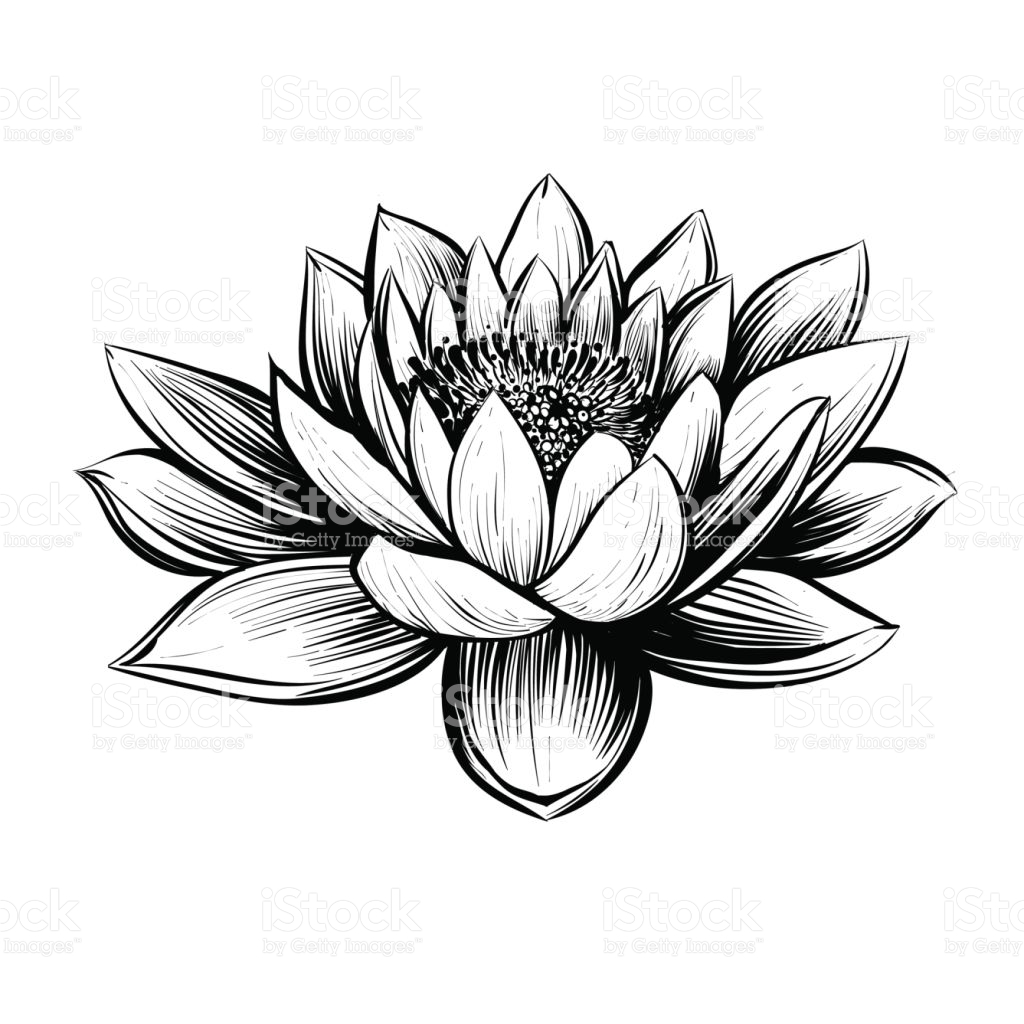 1024x1024 Lotus Drawing Water Lily For Free Download
