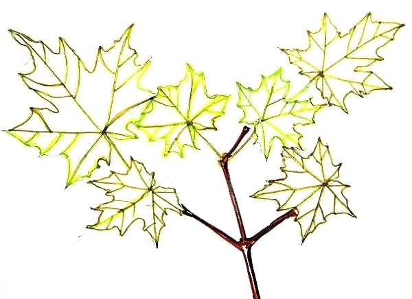 600x436 maple tree drawing maple tree maple tree drawing images drakula club