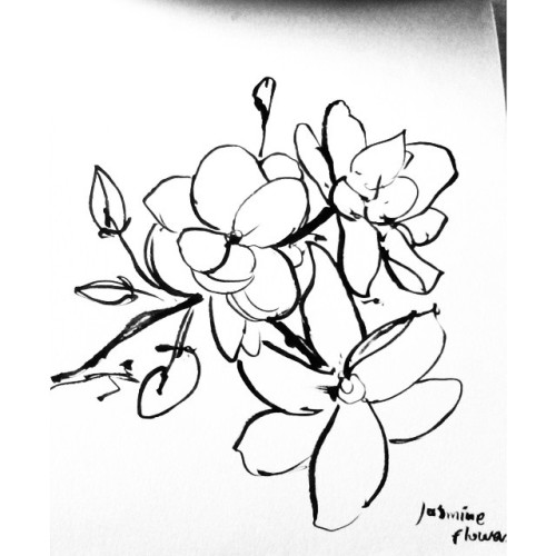 500x500 Wonderful Jasmine Flower Sketch Images