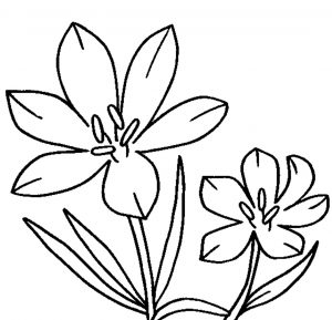 Jasmine Drawing Flower