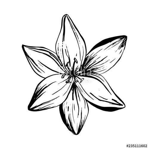 500x500 Huge Collection Of 'lily Flower Tattoo Drawing' Download More