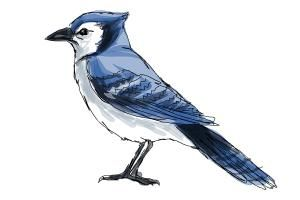 300x200 how to draw a blue jay art drawing blue jay, drawings, blue