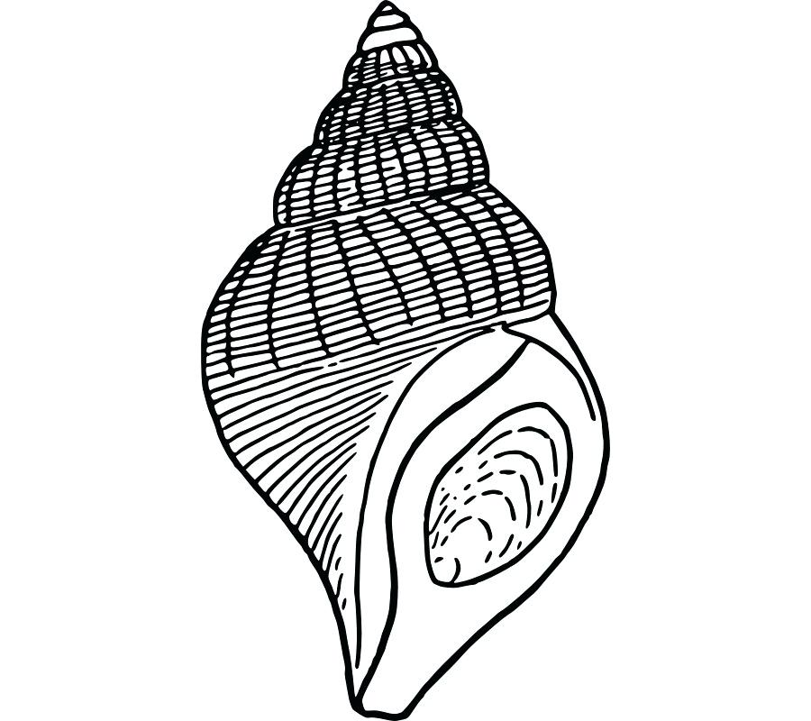 900x800 seashell drawing seashell seashell drawing easy