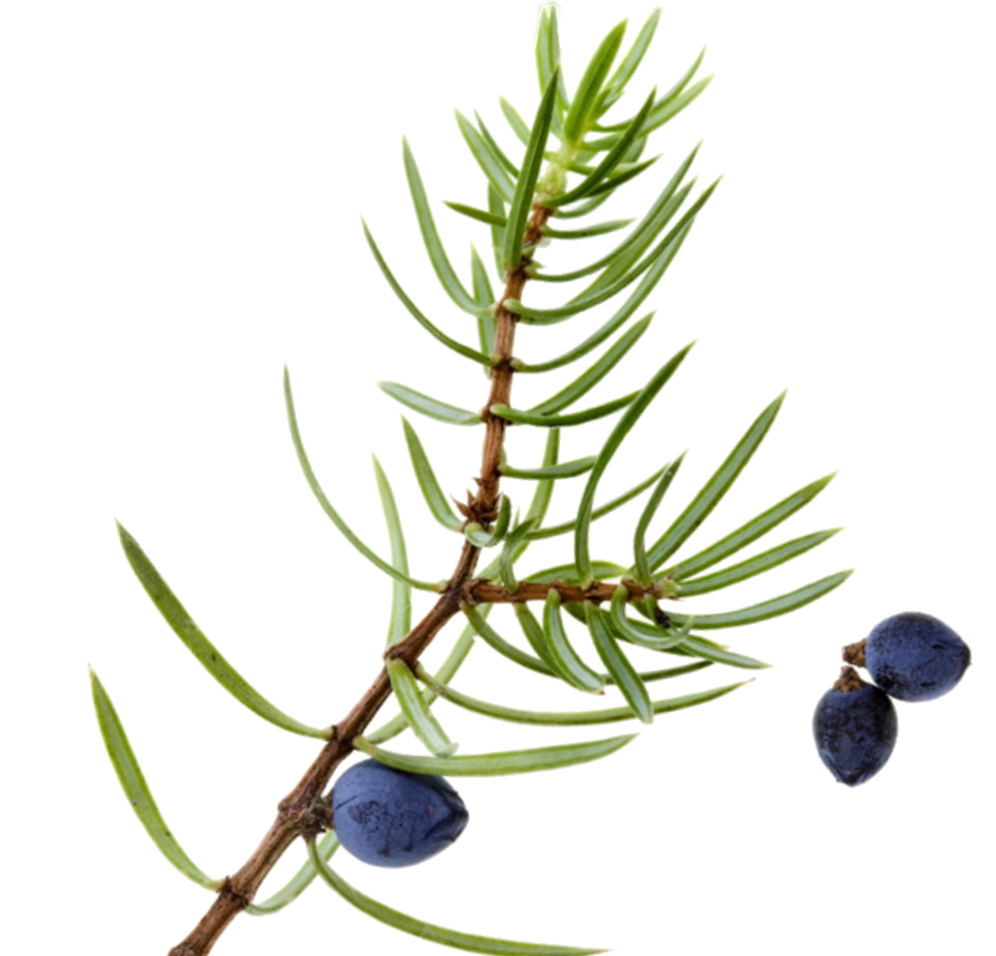 907x870 cliparts for free download berry clipart juniper berry and use
