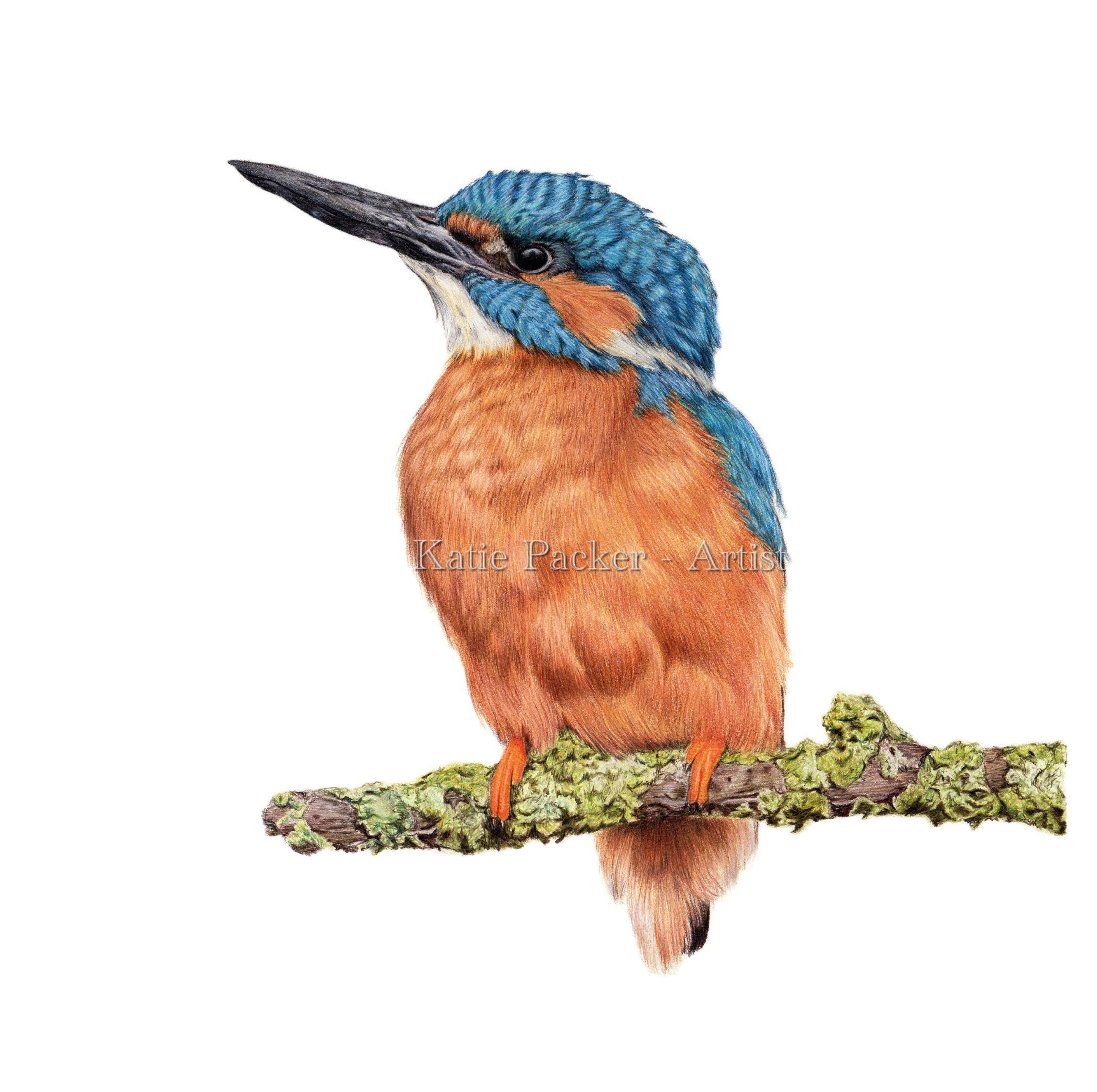 2215x2204 original 'patience', kingfisher drawing katie packer artist