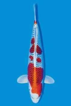 Koi Fish Pond Drawing