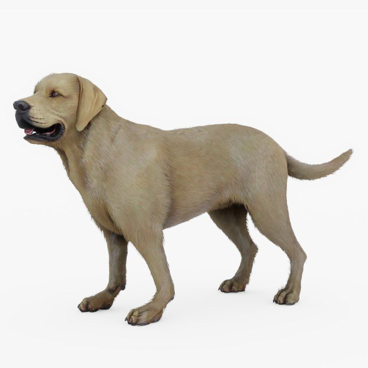 752x752 rigged labrador retriever model animals labrador