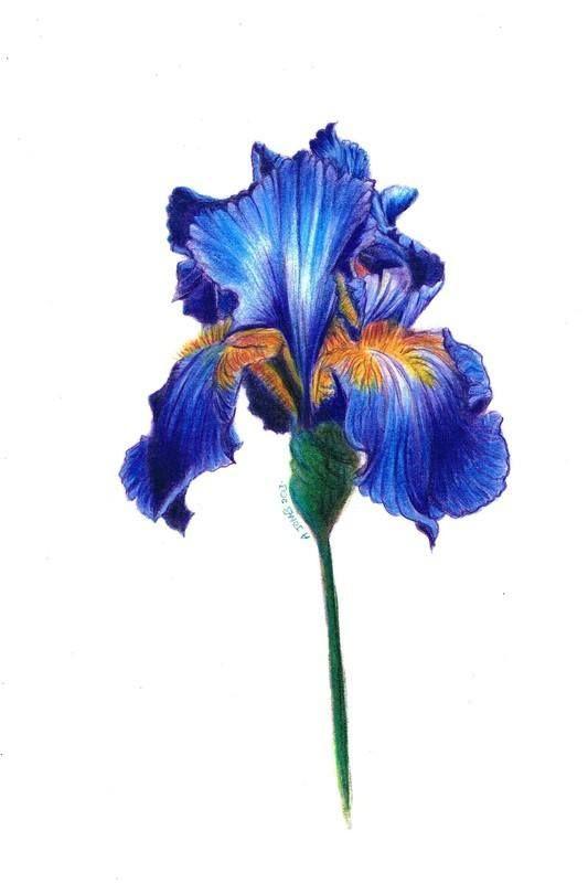 533x800 Iris Flower Paintings Iris Flower Coloured Pencil Drawing