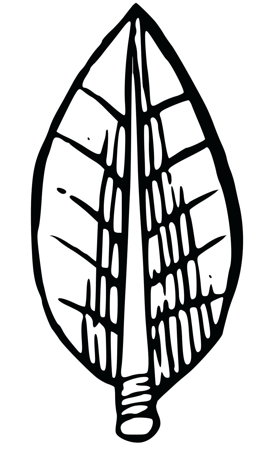 900x1480 laurel tree drawing drawing and laurel tree