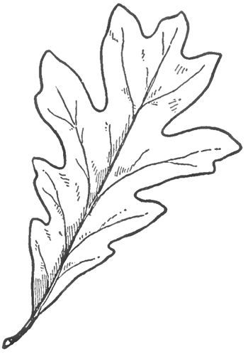 350x498 Learn How To Draw Oak Leaves With Easy Step