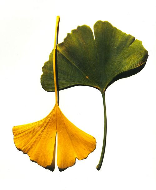 500x610 Tumblr Bloom Leaves, Ginko Tree, Leaf Drawing