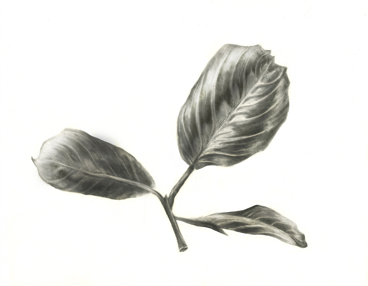 Leaf Drawings In Pencil