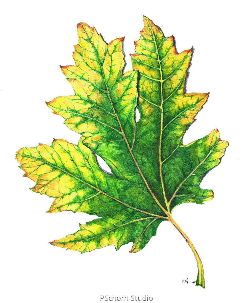 998x1200 botanical colored pencil drawings leaf