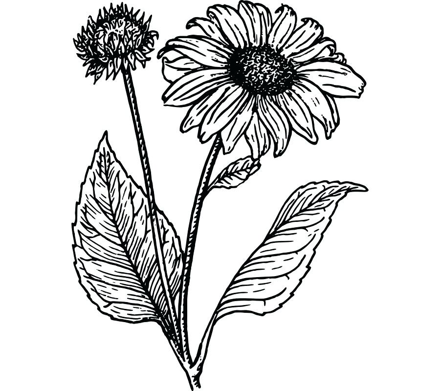 900x800 Sunflower Drawings Sunflower Line Drawing Free
