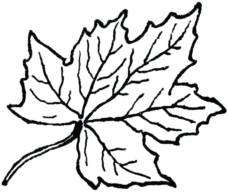 736x618 Remarkable Fall Leaf Outline How To Draw A Using Adobe Illustrator