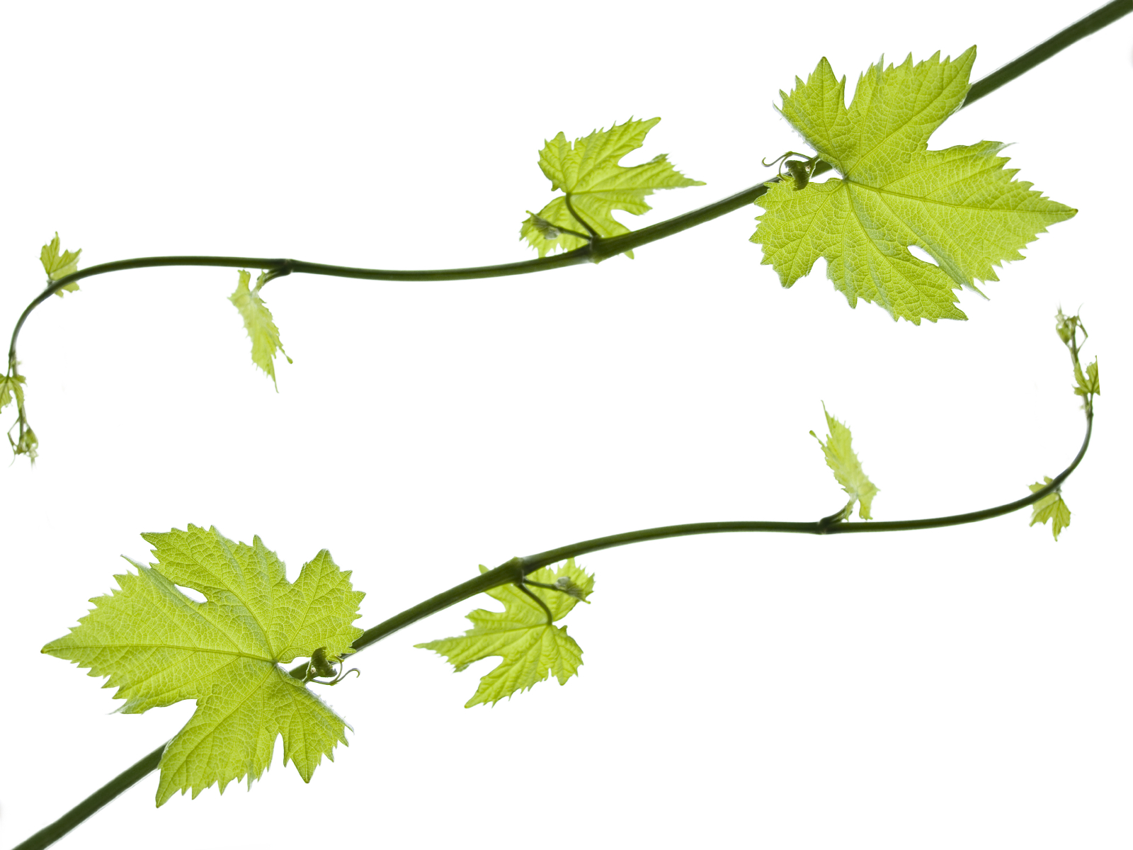 1600x1200 Grape Leaves Clip Art Vine Drawing Clipart