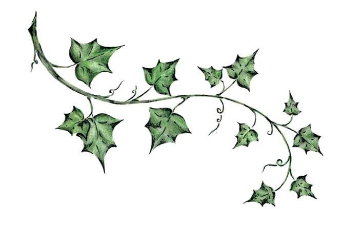 665x486 How To Draw Ivy Leaves Green Ivy