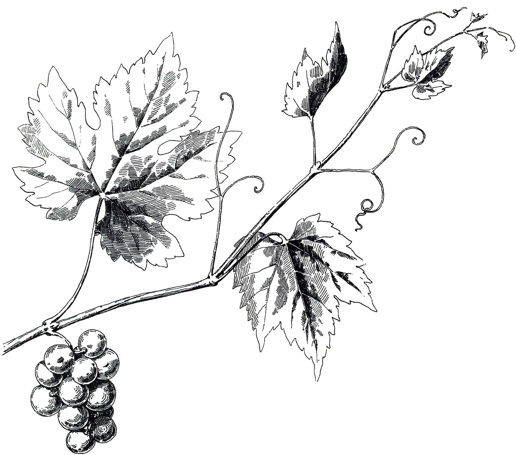 1800x1587 Vintage Grapevine Image Fonts And Printables Vine Tattoos