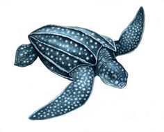 Leatherback Sea Turtle Drawing