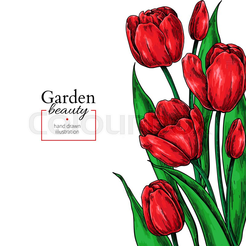 800x800 Tulip Flower And Leaves Drawing Stock Vector Colourbox