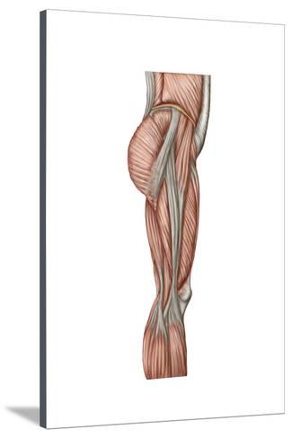 325x488 anatomy of human thigh muscles, anterior view prints