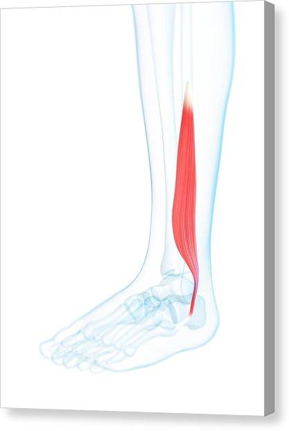 417x622 Lower Leg Muscle Photograph