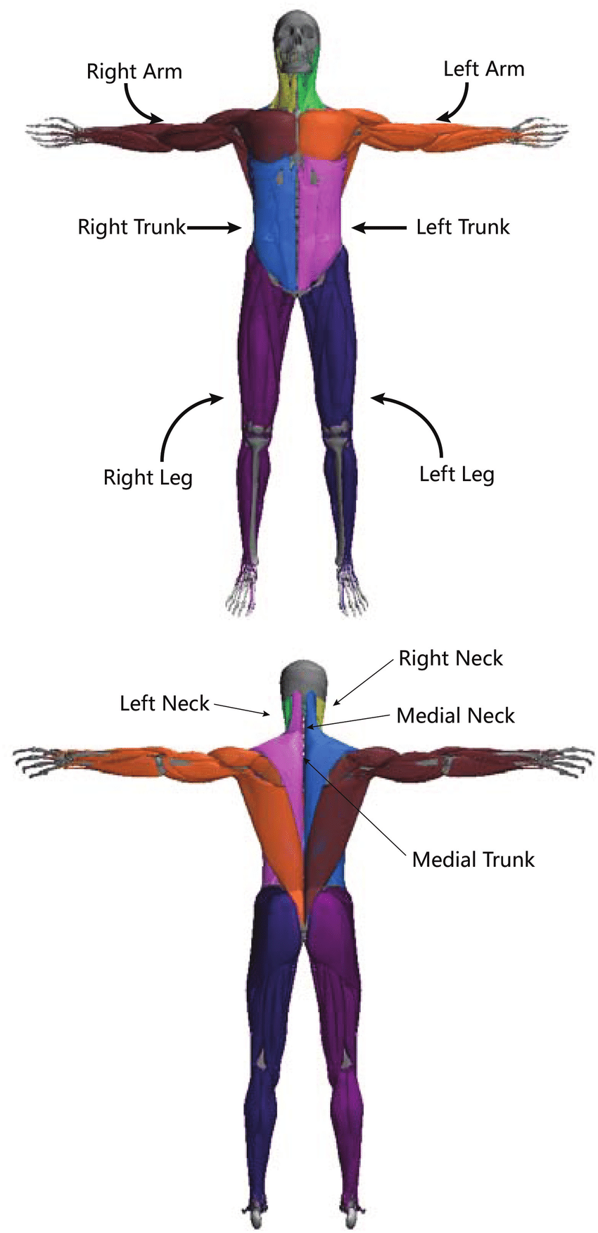 850x1751 muscle grouping for cpg control each muscle group is shown