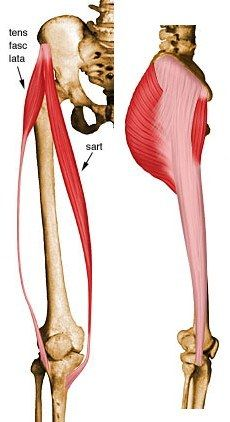 230x422 Tensor Fascia Lata Anatomy Fascia Lata, Anatomy, Anatomy