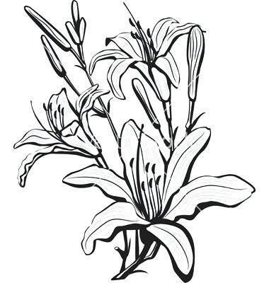 380x400 Drawing Lily Flower How To Draw A Lily Flower Step