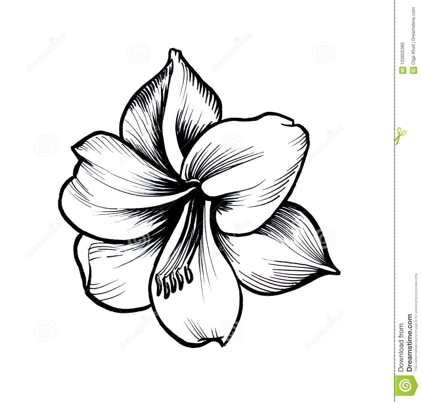 1365x1300 Huge Collection Of 'amaryllis Flower Drawing' Download More Than