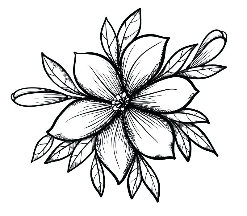 800x701 lily flower drawing draw lily flower step step lily flower drawing