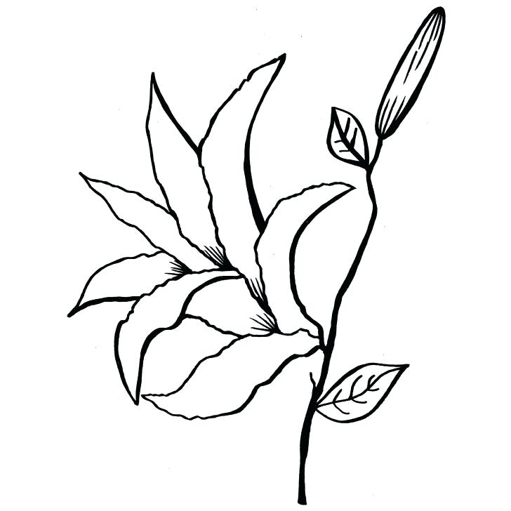 728x728 Calla Lily Coloring Pages Calla Lily Flowers Drawings Images