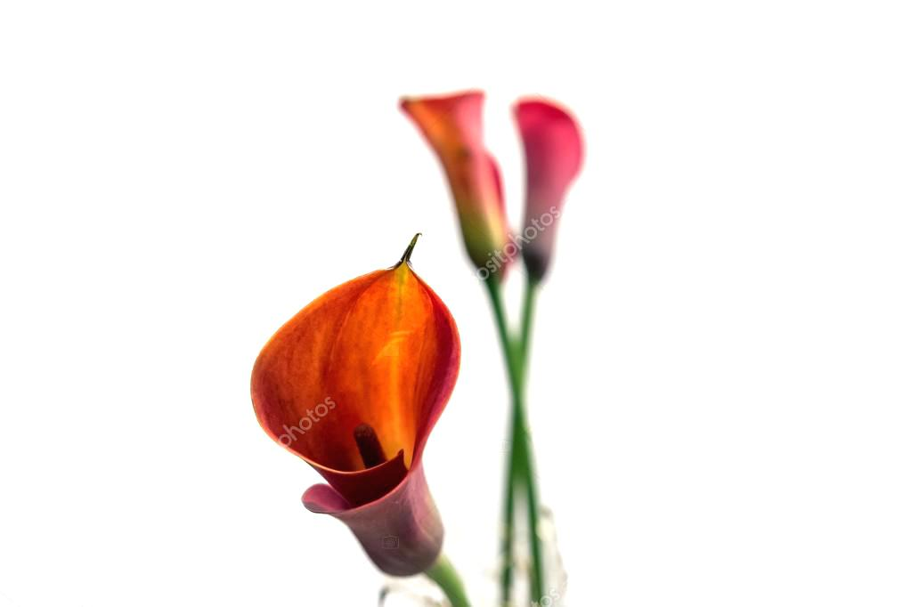 1023x682 Calla Lily Flower Drawing Arrangement Pictures Plant Care Uk